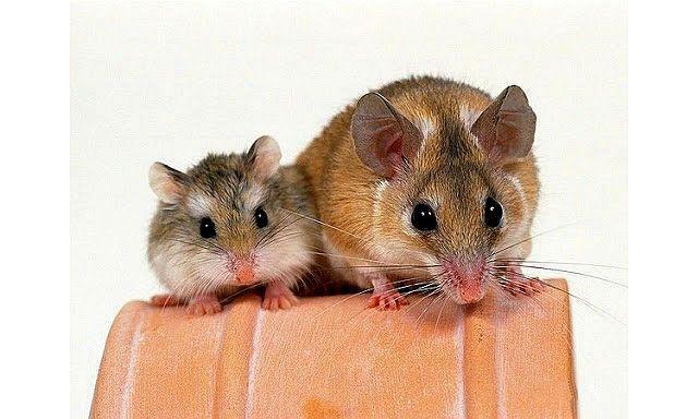 Крыса или хомяк - кого лучше завести