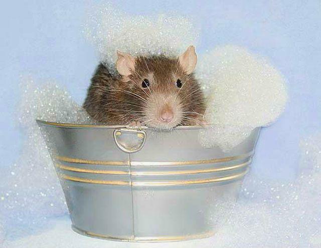 Купание крыс в домашних условиях