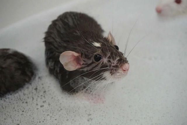 Мытье крысы