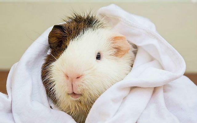 Морская свинка в полотенце