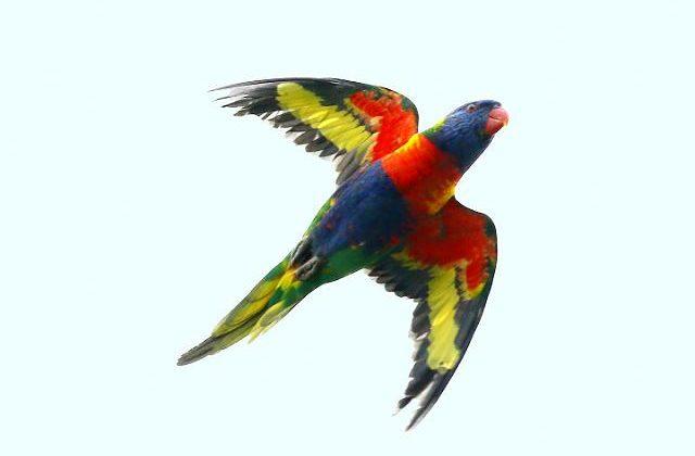 Попугай лорикет летит