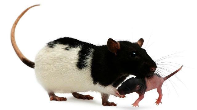 Крысенок с мамой