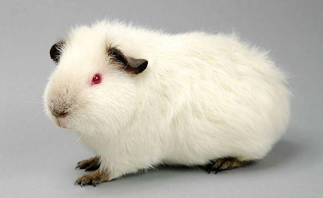 Морская свинка агути белая