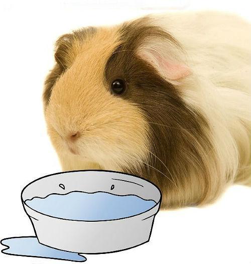 Морская свинка не пьет воду - причины