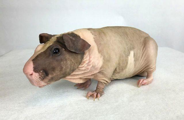 Морская свинка бесшерстная