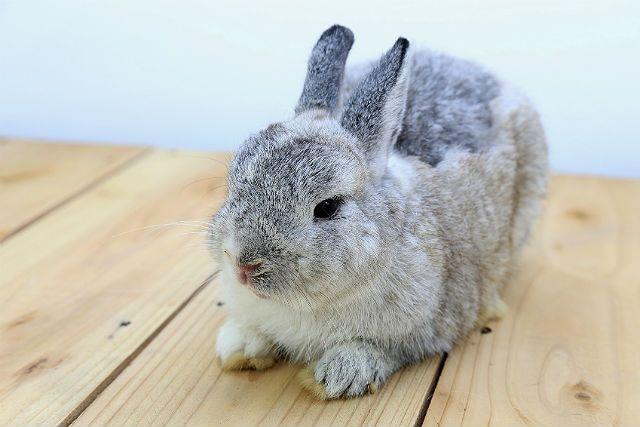 Нидерландский карликовый кролик-1