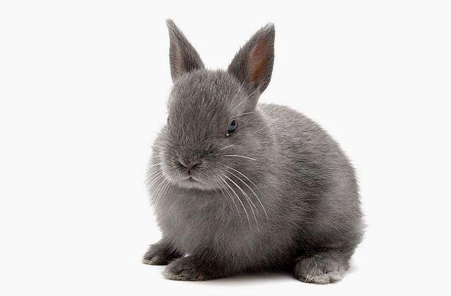 Нидерландский карликовый кролик