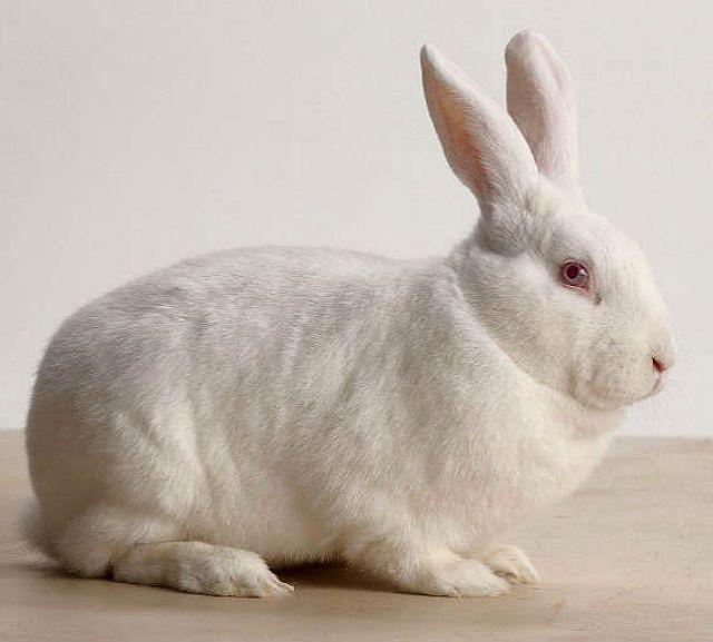 Новозеландский белый кролик-1