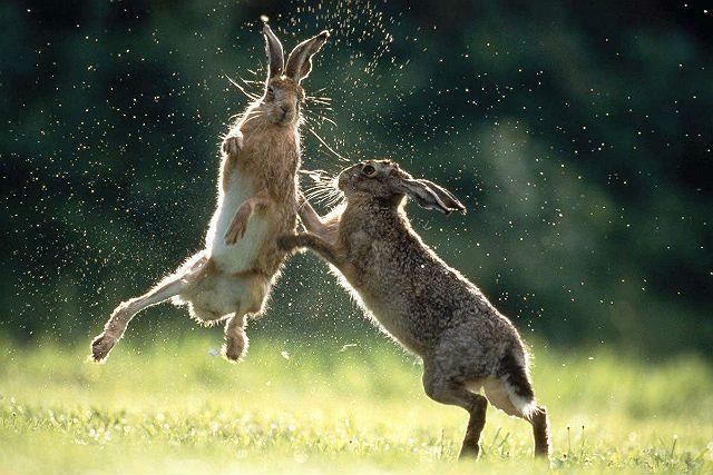 Основные характеристики зайца - главное фото