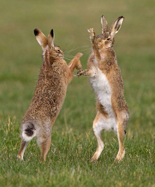 Зайцы русаки стоят на задних лапах