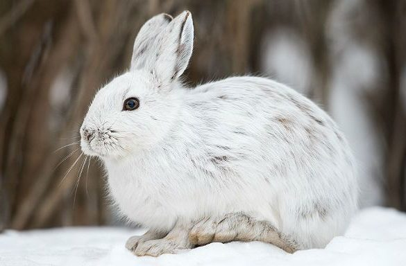 Беляк (заяц)