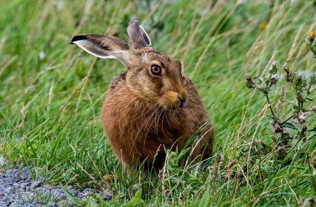 Крупный заяц в траве