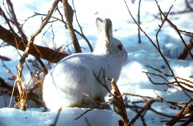 Зайчонок арктический