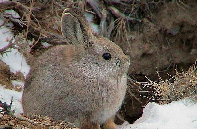Зайчонок-русак