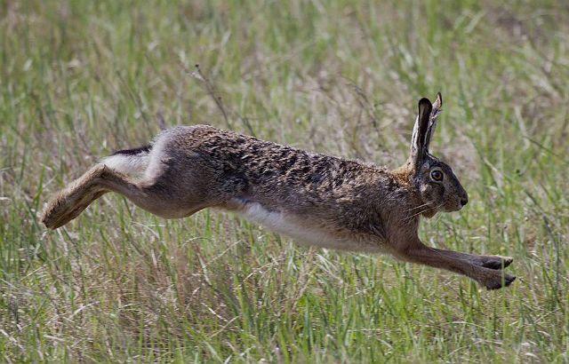 Заяц в беге