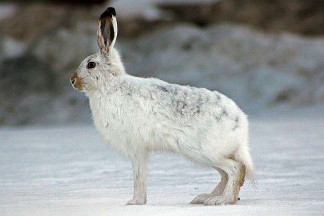 Заяц (арктический)