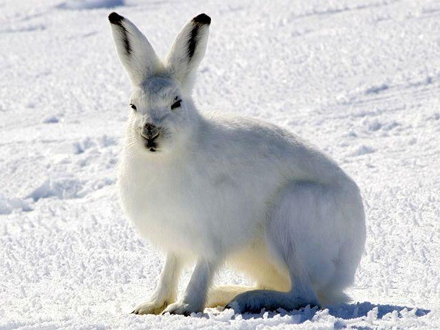 Заяц арктический