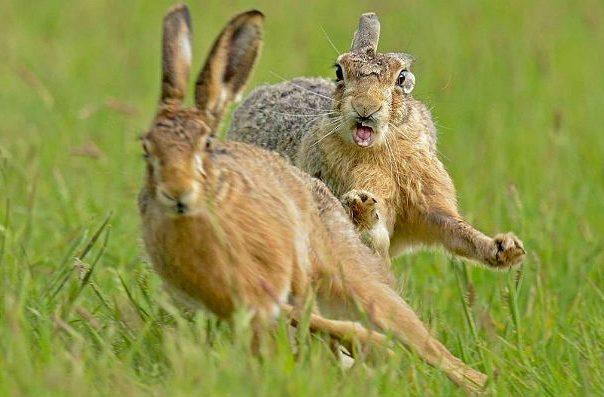 Зайцы бегают