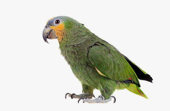 Попугай амазон - вид сбоку