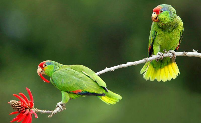 Попугай амазон - главное фото