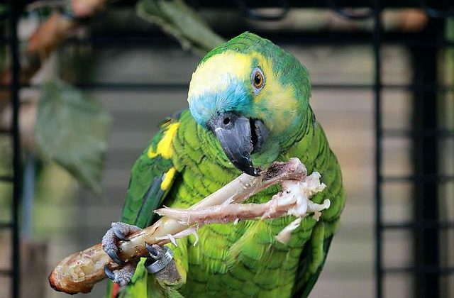 Тропический попугай амазон