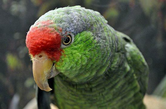 Попугай амазон - голова