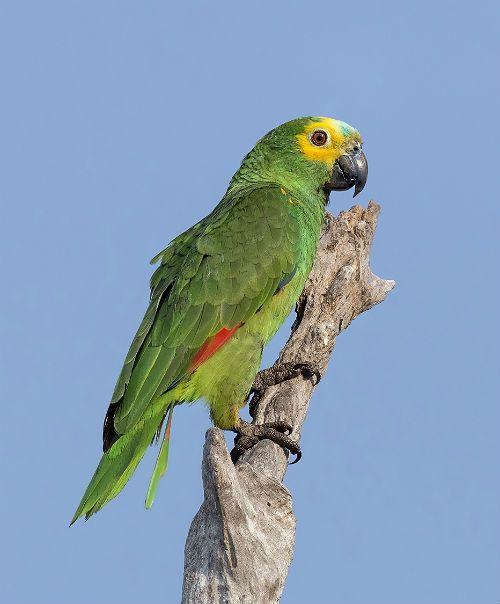 Попугай амазон - чем питается