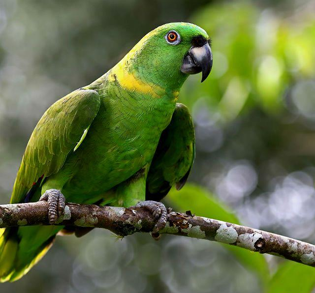 Амазон - тропический попугай