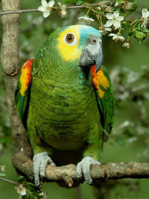 Попугай амазон синелобый