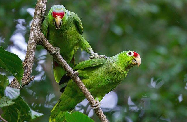 Попугай амазон краснолобый