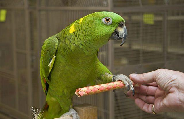 Попугай амазон - воспитание