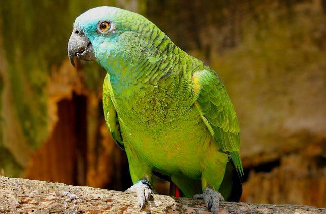 Попугай амазон - внешний вид