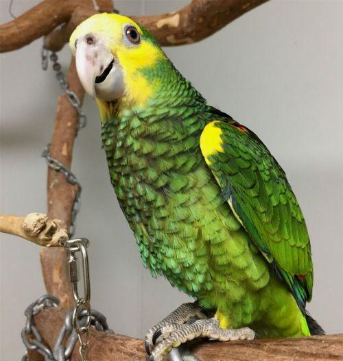 Попугай амазон - содержание в домашних условиях