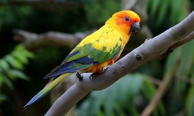 Попугай аратинга - главное фото