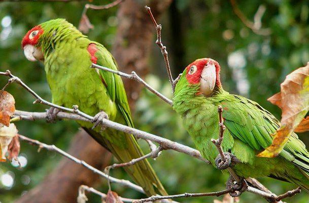 Попугаи аратинга