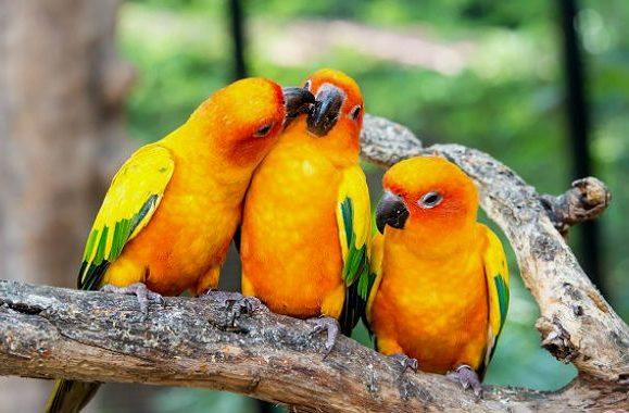 Три желтых попугая аратинга