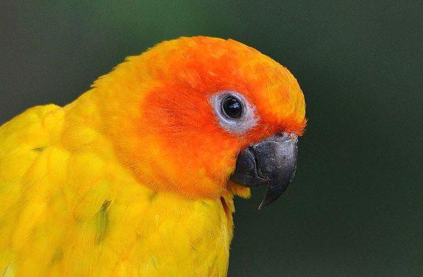 Попугай аратинга - голова
