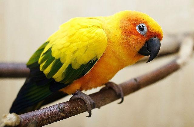 Попугай аратинга - содержание