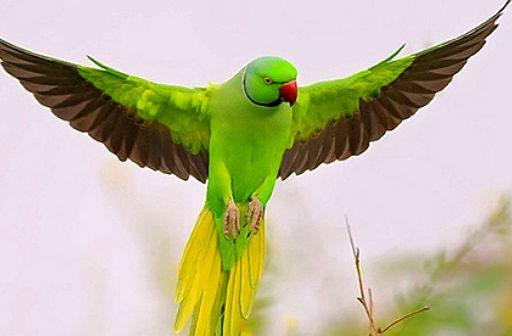 Попугай аратинга расправил крылья
