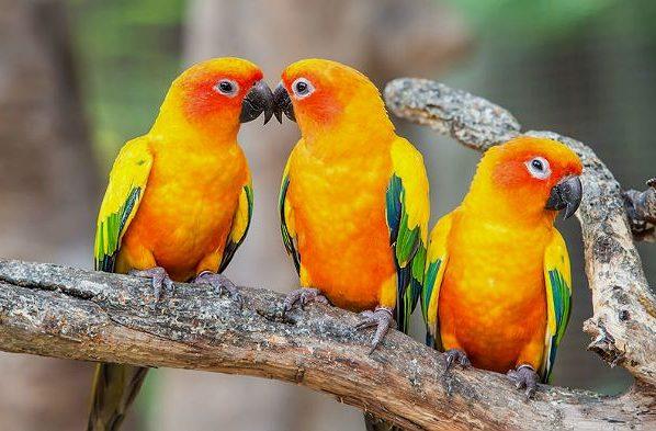 Попугаи аратинга на ветке