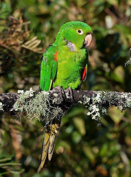 Попугай аратинга - характер и поведение