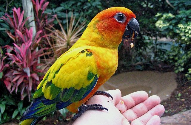 Попугай аратинга сидит на руке