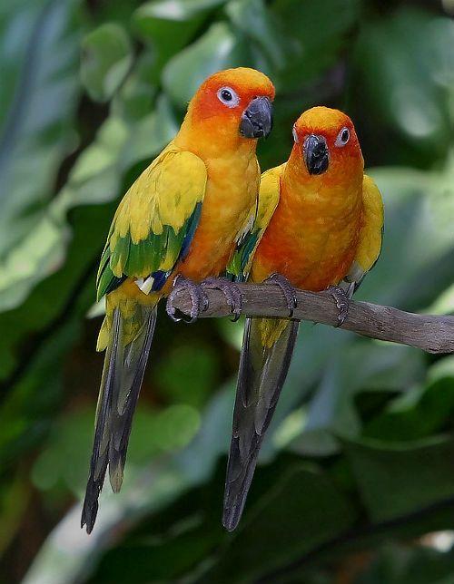 Попугай аратинга - размножение в неволе