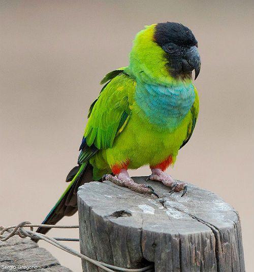 Попугай аратинга зелёный