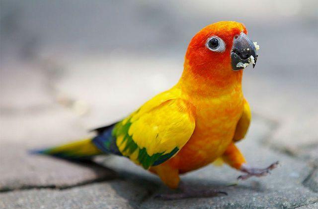 Попугай аратинга шагает по асфальту
