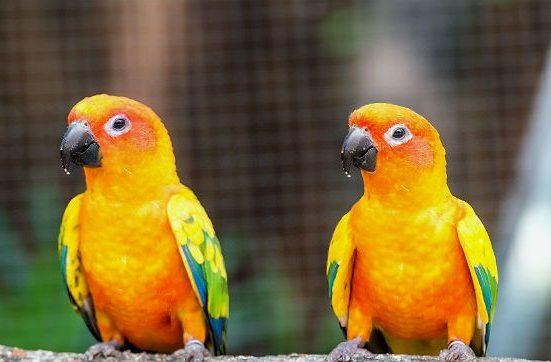 Попугайчики аратинга