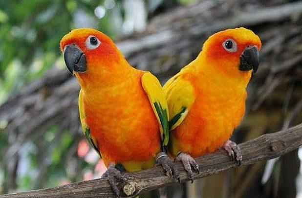 Два попугая аратинга
