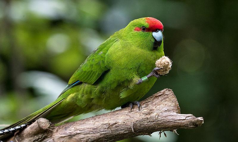 Попугай какарик - главное фото