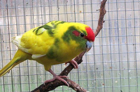 Попугай какарик на ветке