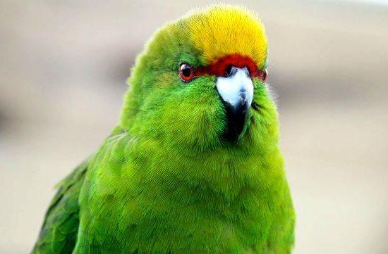 Попугай какарик - голова
